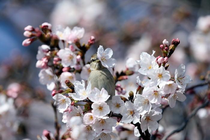 桜が咲いた‼ ニュウナイスズメが入る_f0239515_1755516.jpg