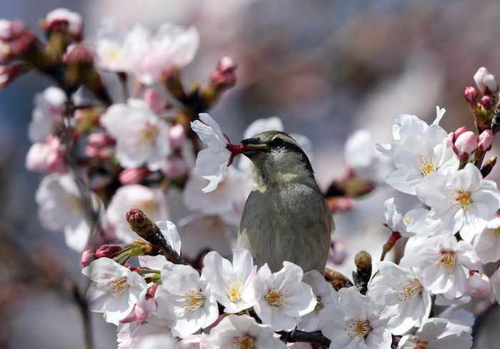 桜が咲いた‼ ニュウナイスズメが入る_f0239515_1761338.jpg