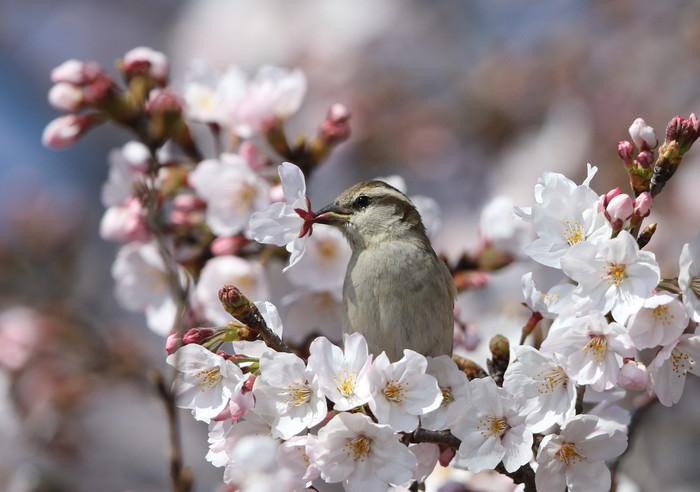 桜が咲いた‼ ニュウナイスズメが入る_f0239515_1765150.jpg