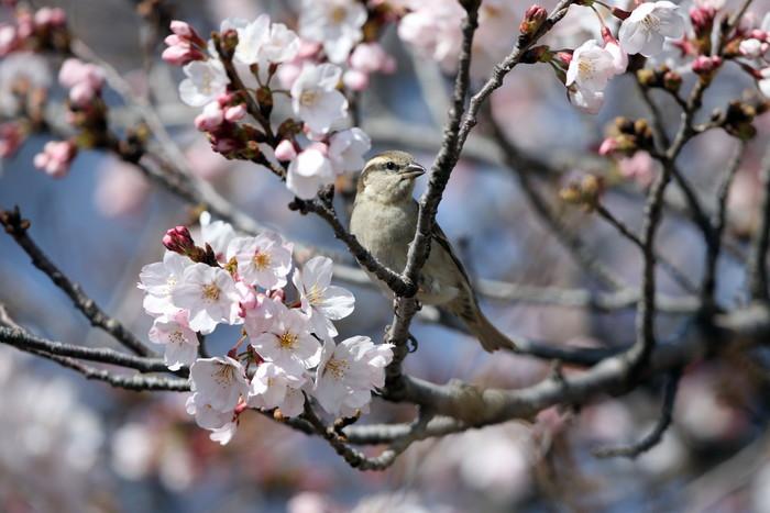 桜が咲いた‼ ニュウナイスズメが入る_f0239515_1771477.jpg