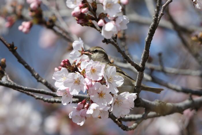 桜が咲いた‼ ニュウナイスズメが入る_f0239515_1774082.jpg
