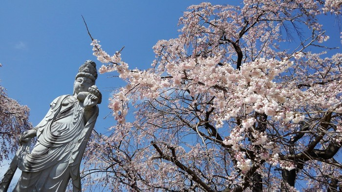 ■【さがみ野霊園の枝垂れ桜が満開です♪】_b0033423_23451945.jpg