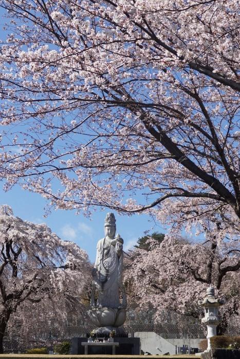 ■【さがみ野霊園の枝垂れ桜が満開です♪】_b0033423_23493299.jpg