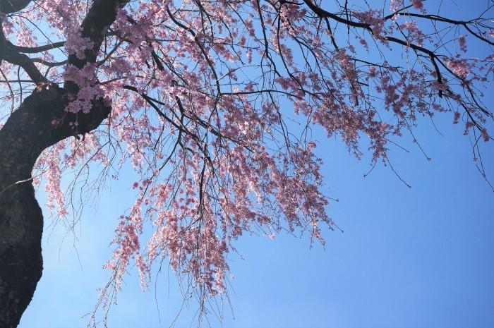 ■【さがみ野霊園の枝垂れ桜が満開です♪】_b0033423_23522563.jpg