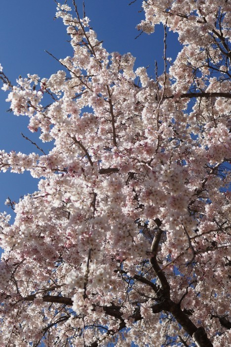 ■【さがみ野霊園の枝垂れ桜が満開です♪】_b0033423_23533857.jpg