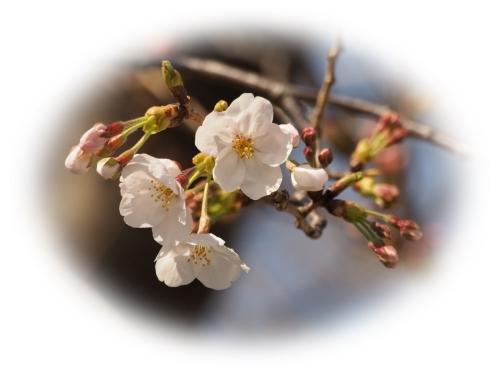 開花宣言_c0026824_18153231.jpg