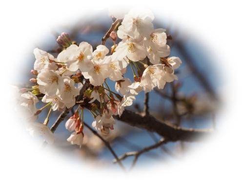 開花宣言_c0026824_18160852.jpg
