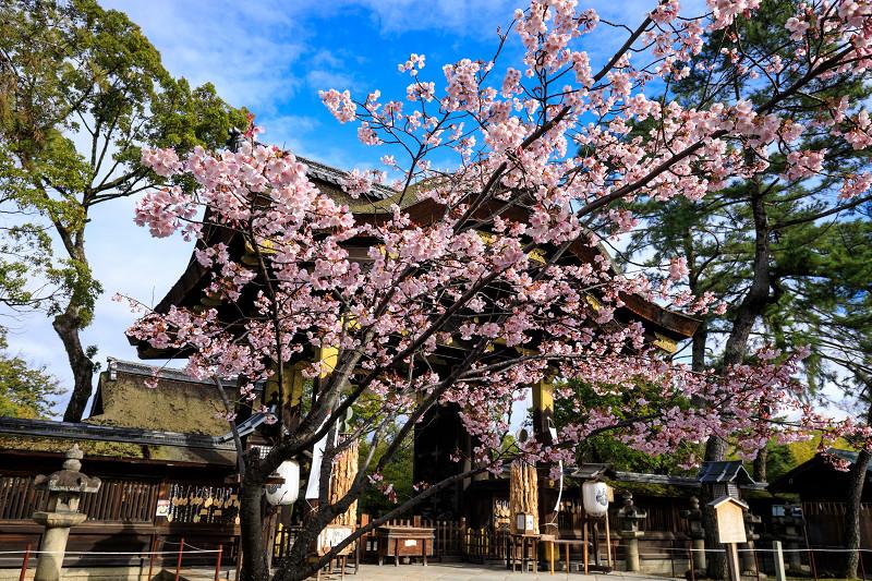 Prologue 2020桜咲く京都 豊国神社の蜂須賀桜_f0155048_05712.jpg