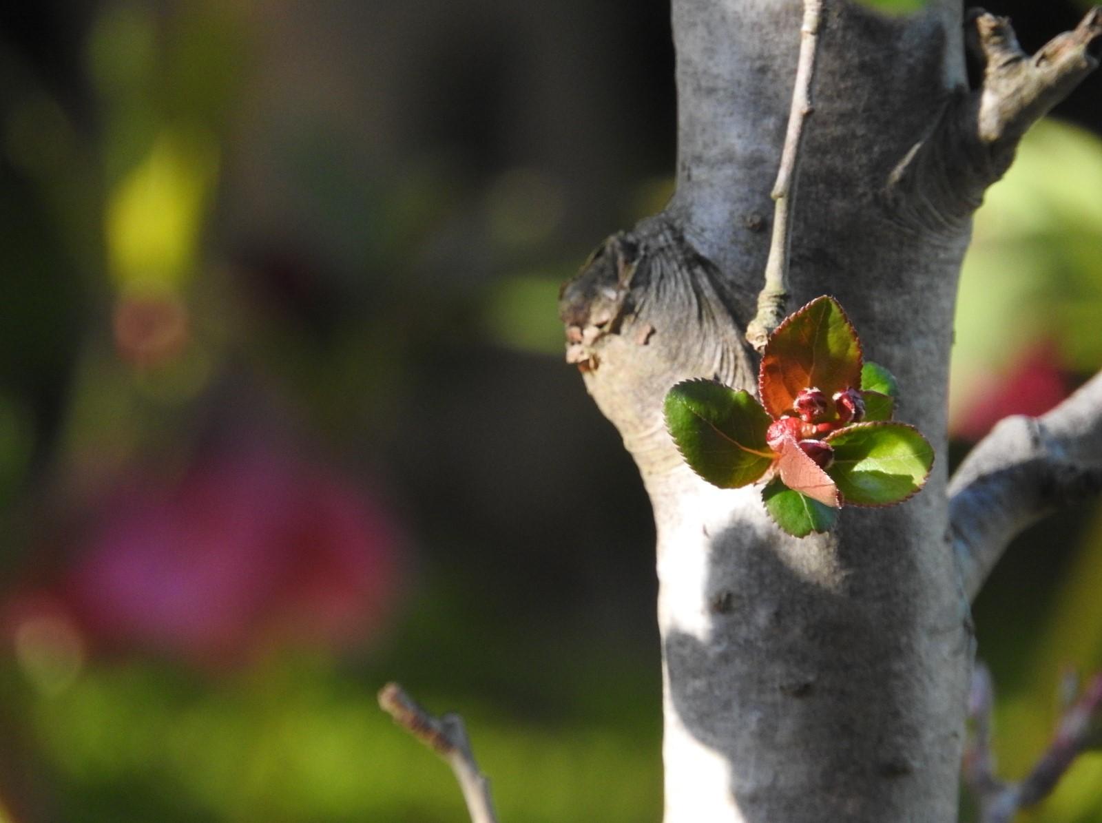 咲くときを待つ 花海棠_e0406450_20275563.jpg