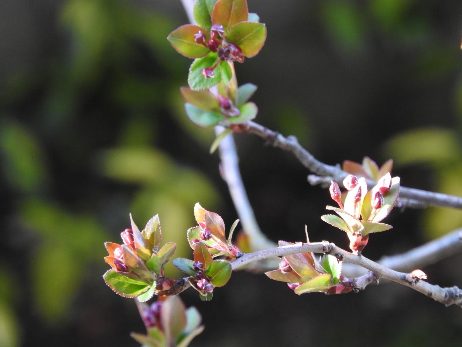 咲くときを待つ 花海棠_e0406450_20283510.jpg