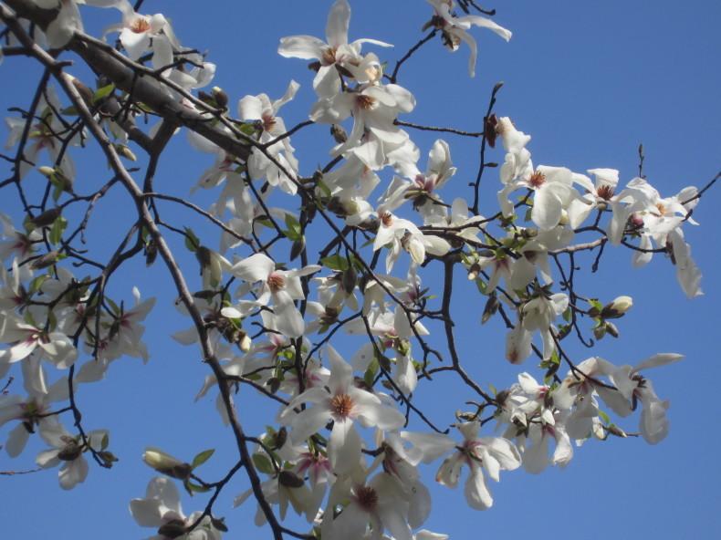 桜が咲いた_a0399157_14512523.jpg