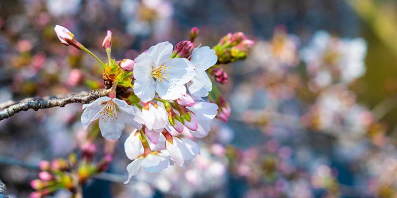 ソメイヨシノが咲きました_a0155464_06201203.jpg