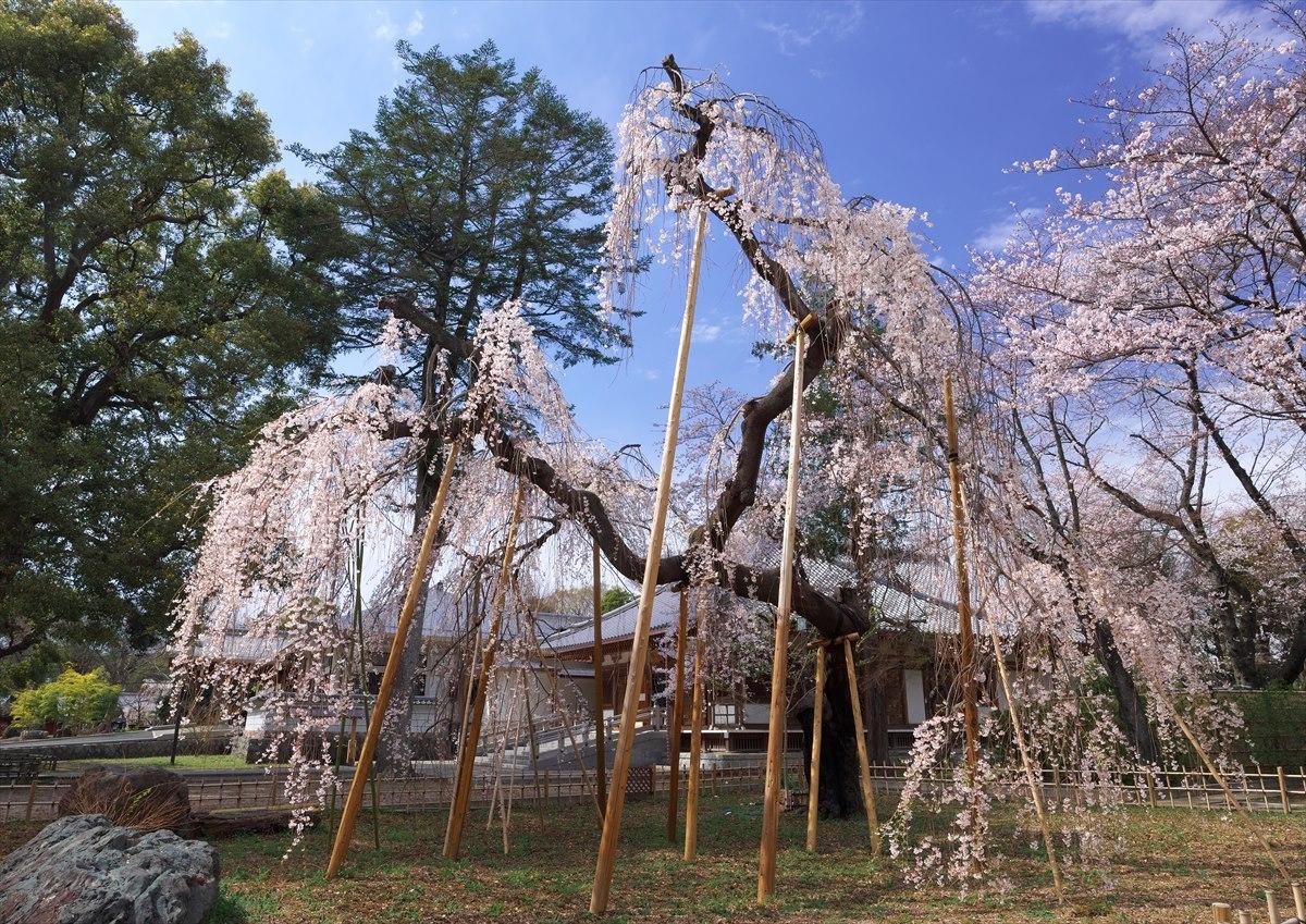 伏姫桜 2020_f0018464_17405604.jpg