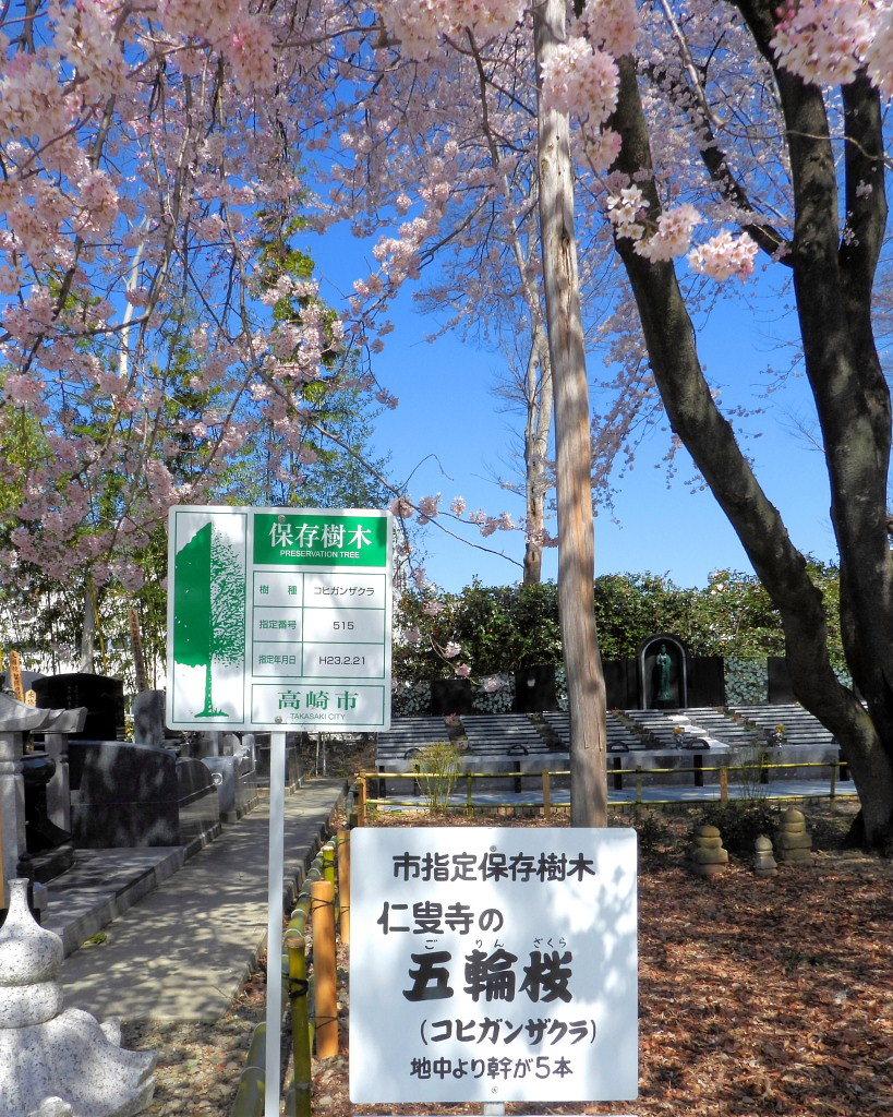 仁叟寺の五輪桜_c0305565_17395972.jpg