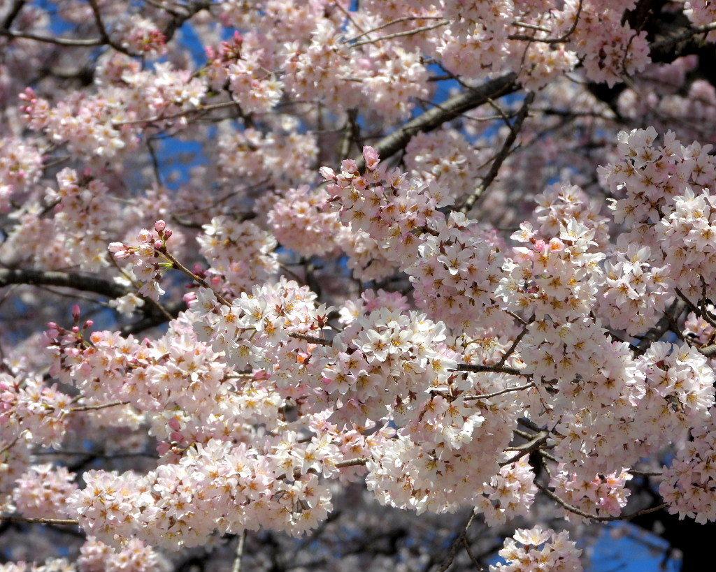 仁叟寺の五輪桜_c0305565_17425284.jpg