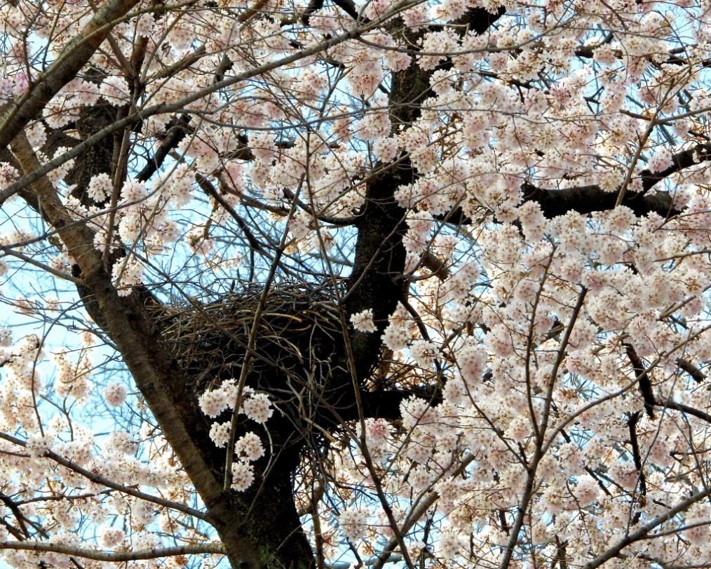 仁叟寺の五輪桜_c0305565_17431363.jpg