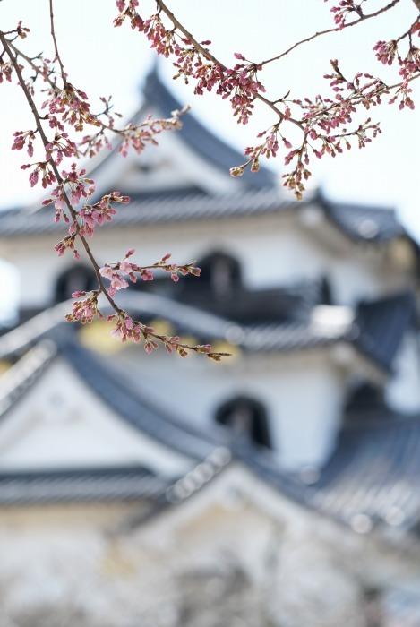 国宝彦根城、桜は? +千代神社_b0173867_17195957.jpg