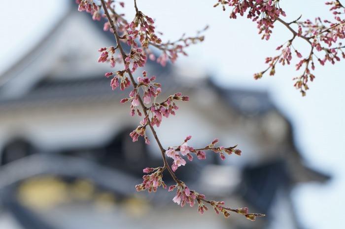 国宝彦根城、桜は? +千代神社_b0173867_17201159.jpg