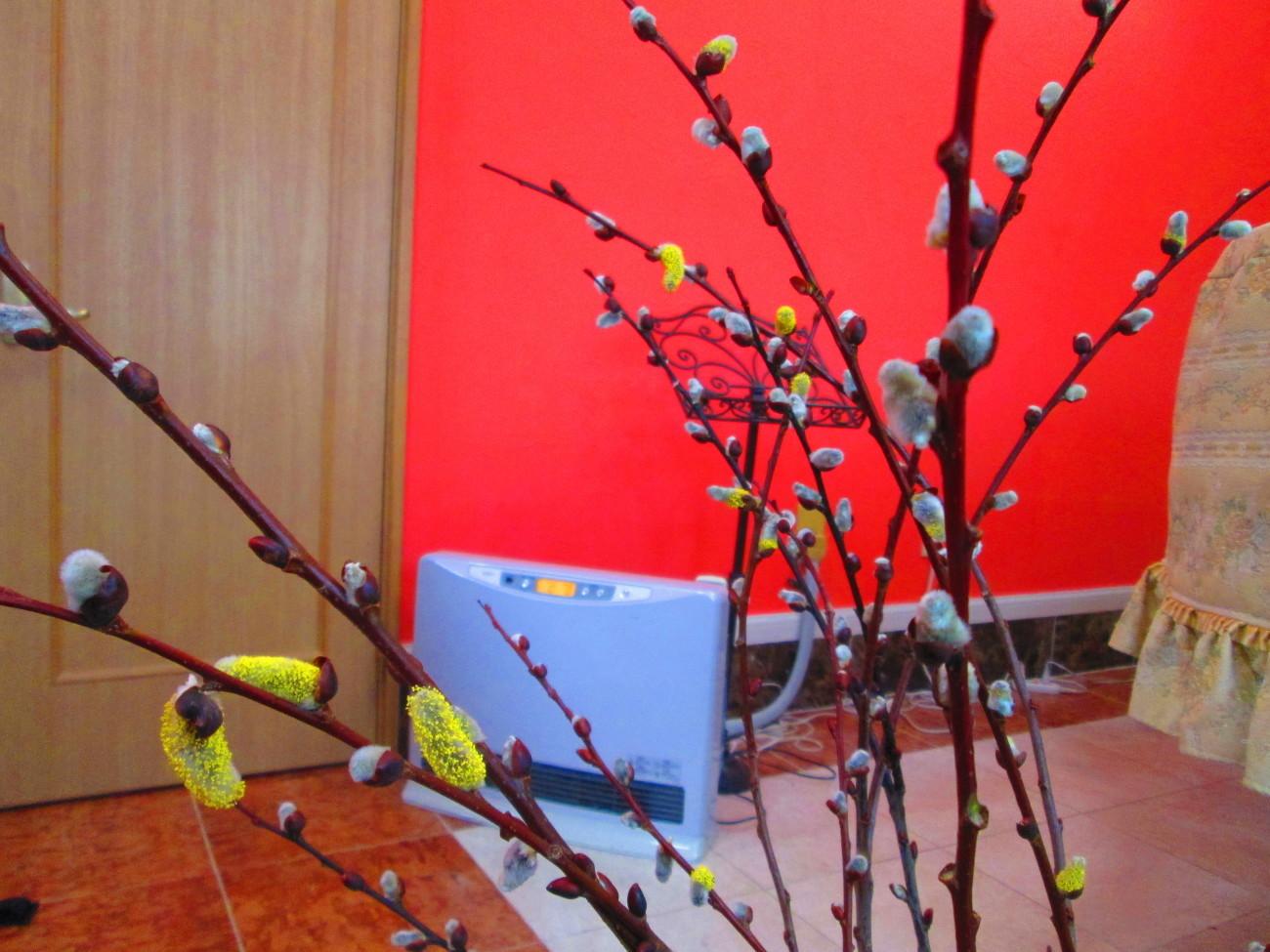 我が家のピアノレッスン室のネコヤナギも花粉をつけ始めました_d0159273_10480898.jpg