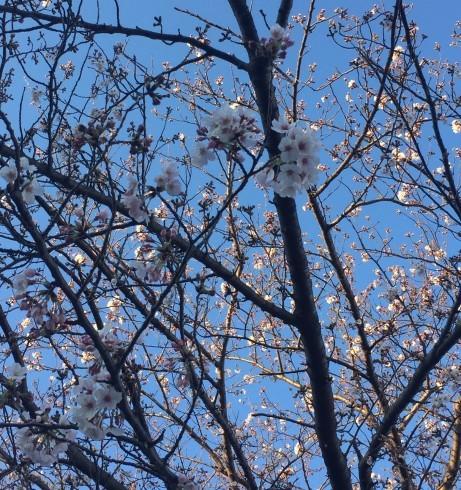 桜が咲きました!_e0190287_13584445.jpg
