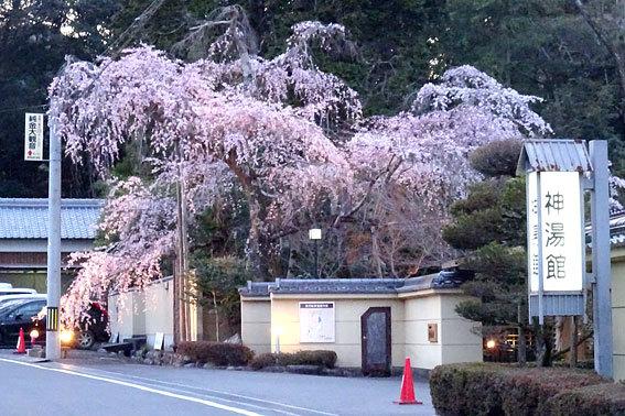 イトザクラの夜桜見物_b0145296_20125561.jpg