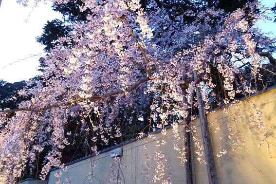 イトザクラの夜桜見物_b0145296_20125957.jpg