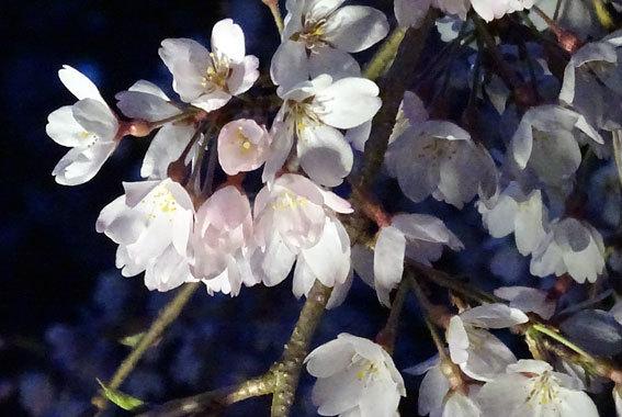 イトザクラの夜桜見物_b0145296_20130565.jpg