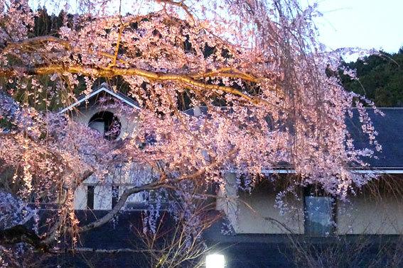 イトザクラの夜桜見物_b0145296_20130841.jpg