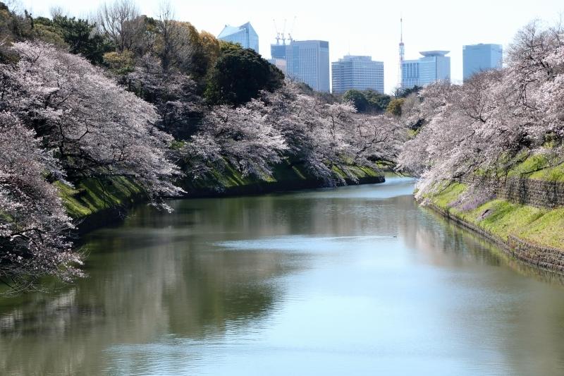 千鳥ヶ淵のソメイヨシノは本日、八分咲きから九分咲き_b0291402_13575300.jpg