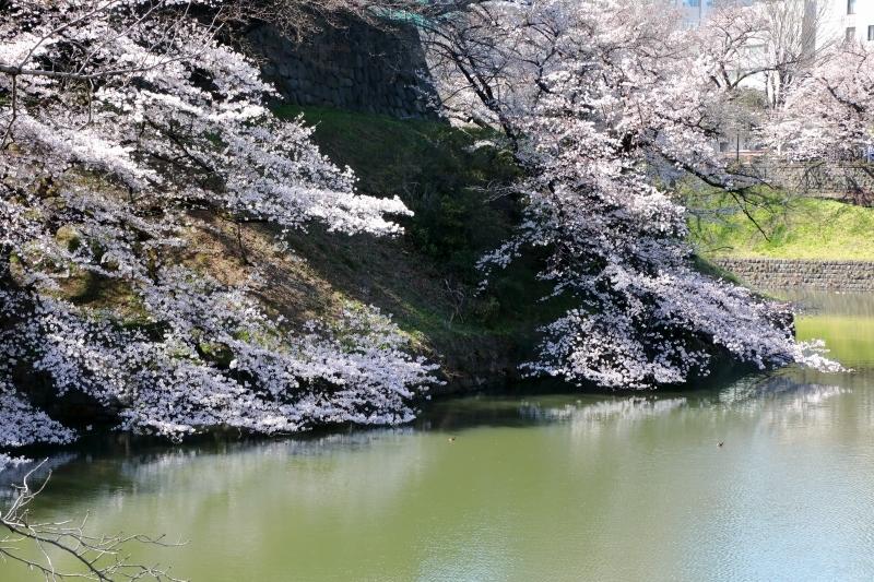 千鳥ヶ淵のソメイヨシノは本日、八分咲きから九分咲き_b0291402_13580284.jpg