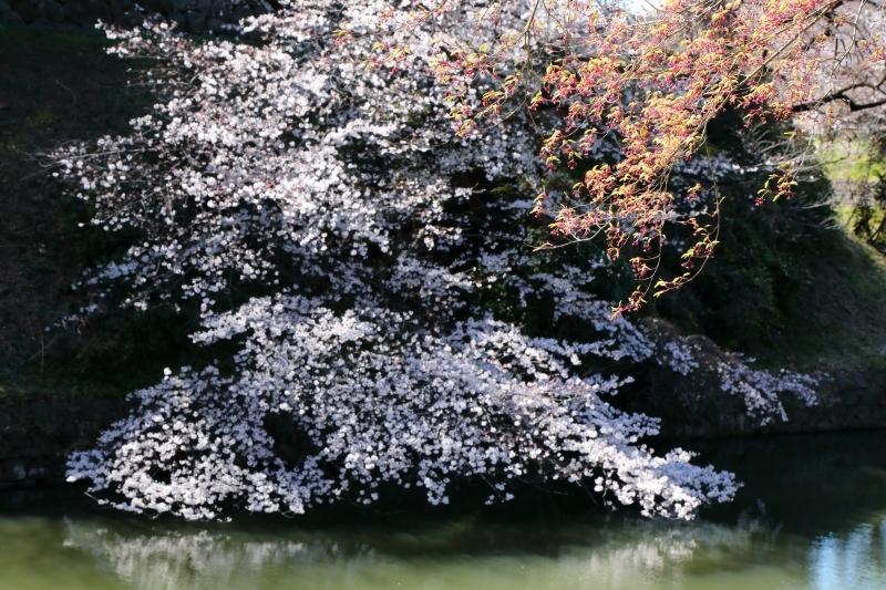 千鳥ヶ淵のソメイヨシノは本日、八分咲きから九分咲き_b0291402_13584643.jpg