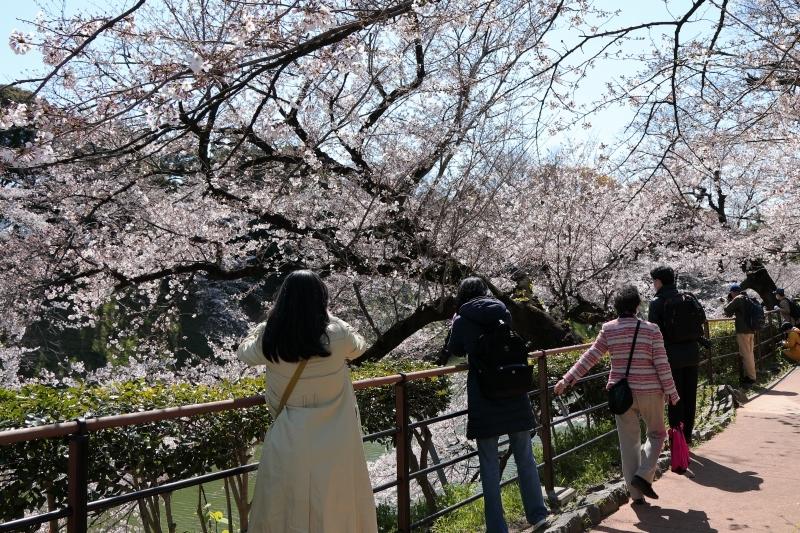 千鳥ヶ淵のソメイヨシノは本日、八分咲きから九分咲き_b0291402_13590966.jpg