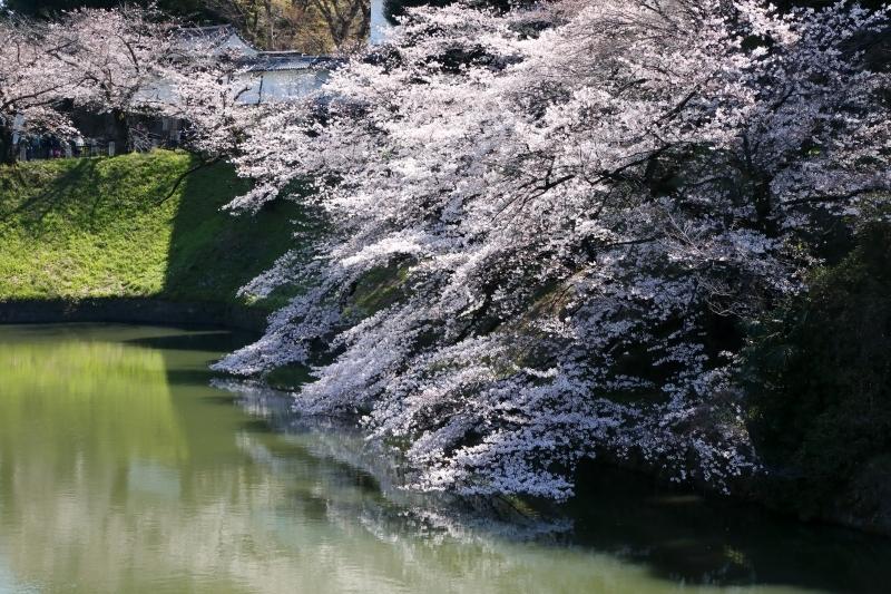 千鳥ヶ淵のソメイヨシノは本日、八分咲きから九分咲き_b0291402_13591320.jpg