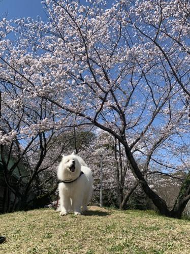 桜~✿_e0018604_15070671.jpg