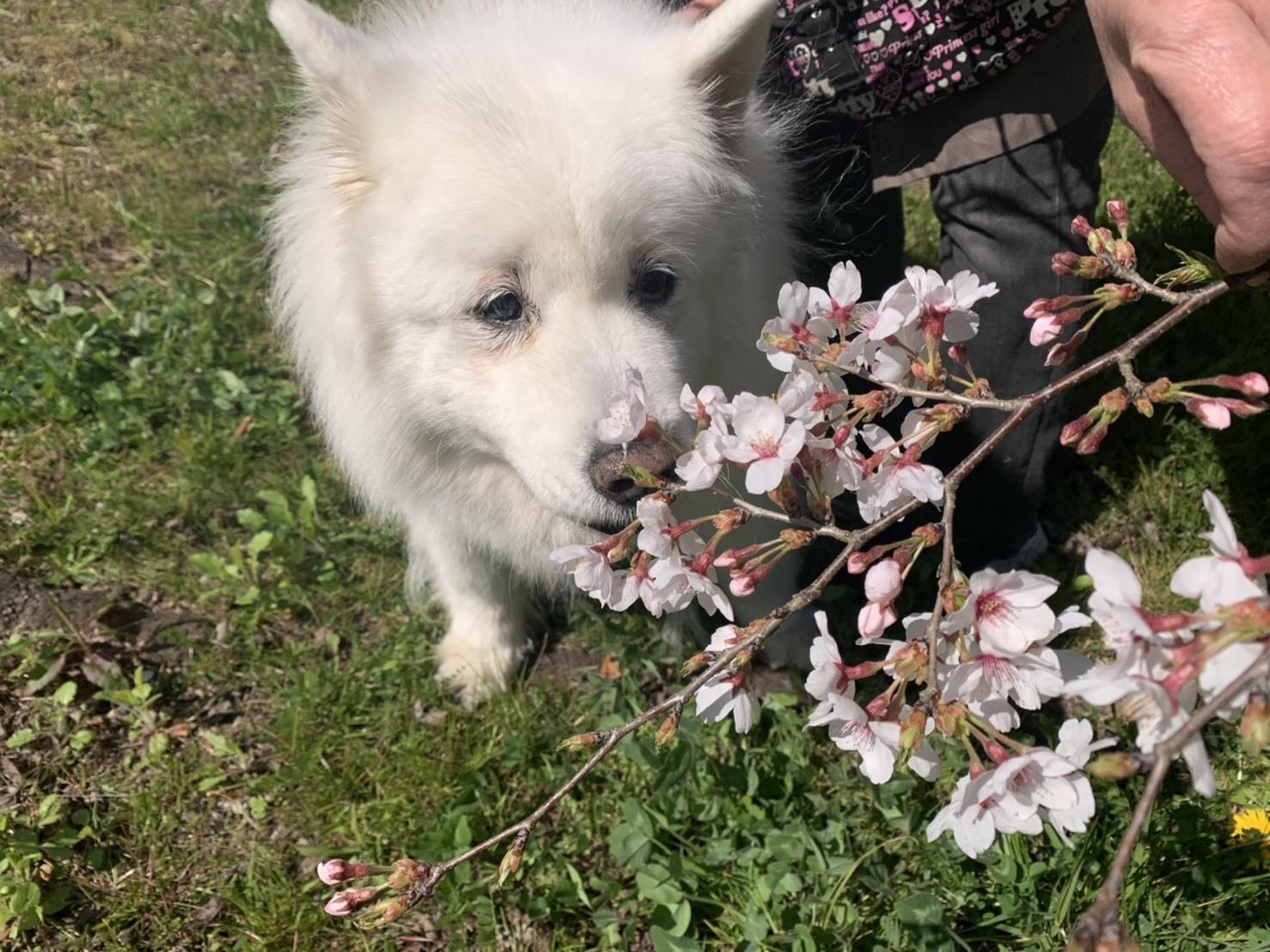 桜~✿_e0018604_15072267.jpg