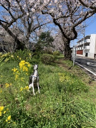 桜~✿_e0018604_15073770.jpg