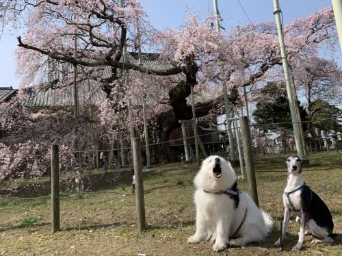桜~✿_e0018604_15075425.jpg