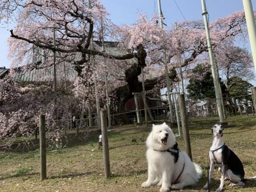 桜~✿_e0018604_15080138.jpg