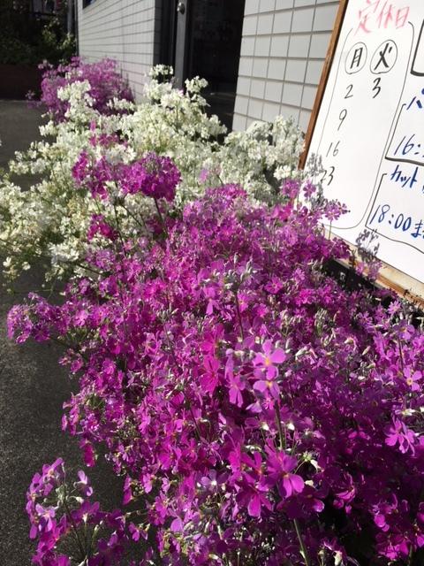 満開の桜草_e0150006_10063983.jpg