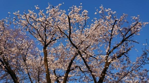 3/25 東京の桜2020Vol.3_b0042308_17392473.jpg