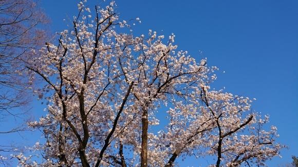 3/25 東京の桜2020Vol.3_b0042308_17392576.jpg