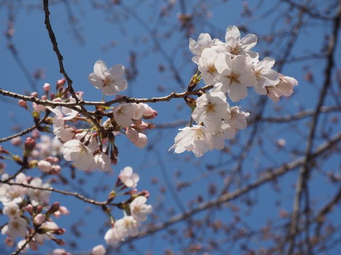 五日市中央公園の桜の花_c0116915_00122013.jpg