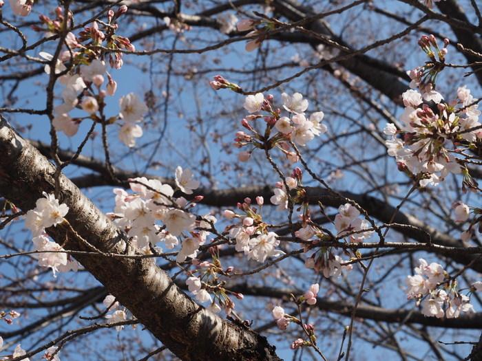 五日市中央公園の桜の花_c0116915_00123729.jpg