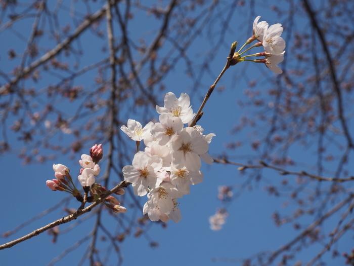 五日市中央公園の桜の花_c0116915_00125044.jpg