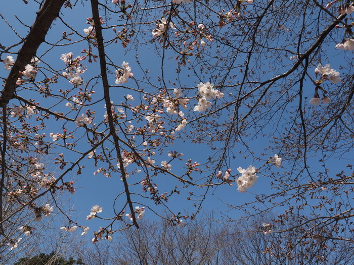 五日市中央公園の桜の花_c0116915_00125999.jpg