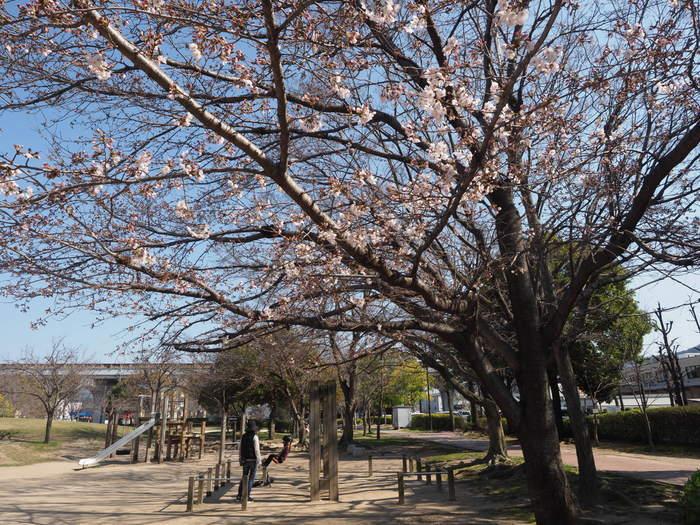 五日市中央公園の桜の花_c0116915_00130936.jpg