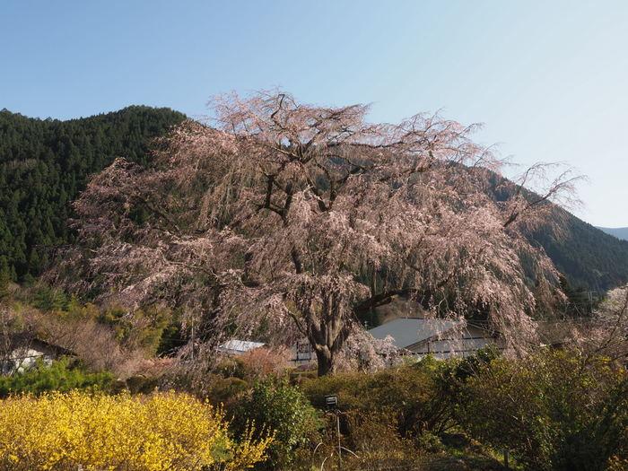 湯の山のしだれ桜_c0116915_23252974.jpg