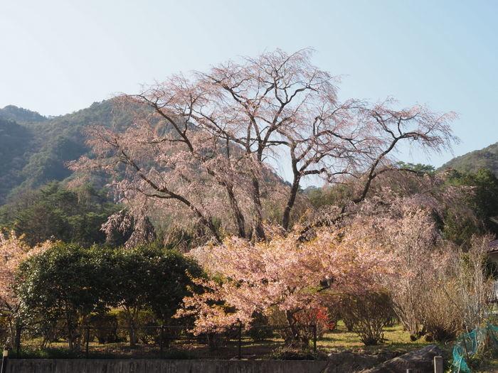湯の山のしだれ桜_c0116915_23254866.jpg