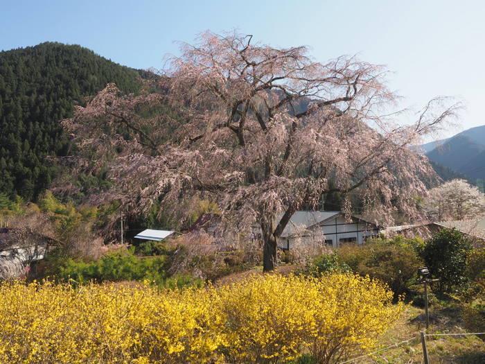 湯の山のしだれ桜_c0116915_23260069.jpg