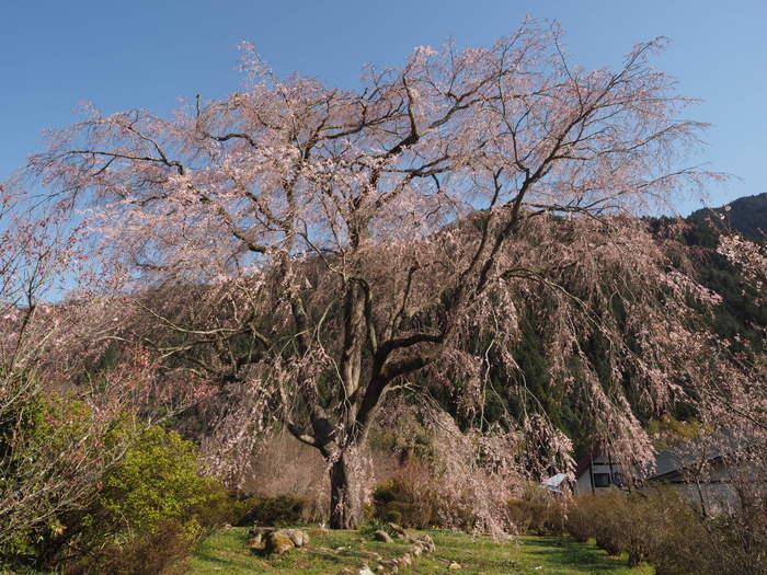 湯の山のしだれ桜_c0116915_23262494.jpg